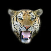 Portrait of Amur Tigers, isolated on black background — Stock Photo