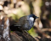 Beautiful black-throated laughingthrush (Garr ulax chinensis) i — Stock Photo