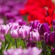 Colorful Spring Tulips in a garden — Stock Photo #73090351