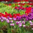 Colorful Spring Tulips in a garden — Stock Photo #73090389