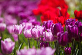 Colorful Spring Tulips in a garden — Stock Photo