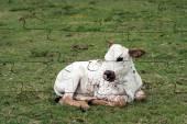Nguni Calf Puzzle — Stock Photo
