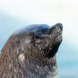 Cape Fur seal — Stock Photo #62821923