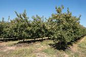 Pomar de maçãs — Fotografia Stock