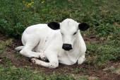 Nguni Cattle — Stock Photo