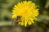 Pszczoła na kwiat — Zdjęcie stockowe