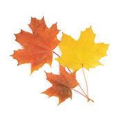 Folhas de maple Outono isoladas no branco — Fotografia Stock