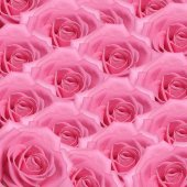 Pink rose  as a background — Stock Photo