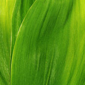 Green leaves of a lily the valley — Stock Photo