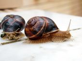 Large snails — Stock Photo