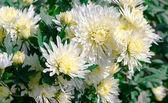 Chrysanthème — Photo