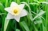 Narcissuses in a garden — Stockfoto