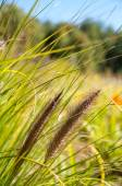 Two blades of grass, summer end — Stock Photo
