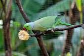 Green Indian Ring-necked Parakeet — Stock Photo
