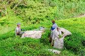 Tea plantation, Cameron Highlands — Stock Photo