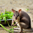 Baby kangaroo — Stock Photo #69622727