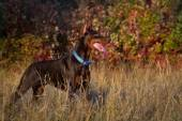 Doberman in autumn grass — Stock Photo