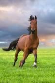 Bay stallion run in green field — Stock Photo