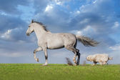Grey horse with dog — Stock Photo