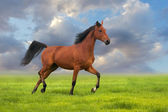 Horse trotting — Stock Photo