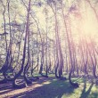 Vintage style picture of Crooked Forest, Gryfino in Poland. — Foto de Stock   #55963565