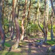 Grove of oddly shaped pine trees in Crooked Forest, Poland. — Stock Photo #55964527
