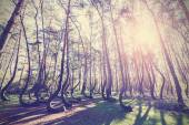 Vintage style picture of Crooked Forest, Gryfino in Poland. — Stock Photo