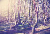 Vintage style picture of Crooked Forest, Poland. — Stock Photo