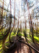 Beautiful morning in the Crooked Forest with sun rays and long s — Stock Photo