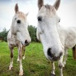 Wide angle picture of two horses, shallow depth of field. — Stock Photo #56663895