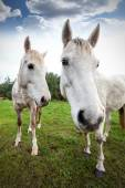 Wide angle picture of two horses, shallow depth of field. — Stock fotografie