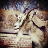 Retro vintage filtered portrait of a goat. — Stock Photo