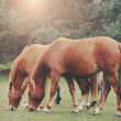 Vintage retro filtered picture of grazing horses. — Stock Photo #59886159