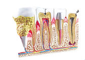 Dental section model, teeth anatomic background. — Stock Photo