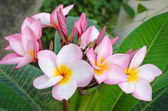 Plumeria beautiful pink inflorescence — Stock Photo