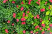 Green leaves and little red flower background — Stock Photo