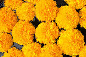 Tagetes erecta L or  Marigold beautiful flower — Stock Photo