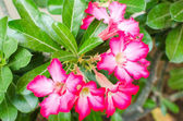Desert Rose Impala Lily Mock Azalea flower — Zdjęcie stockowe