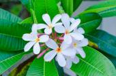 Plumeria beautiful white inflorescence on green leaf — Stock Photo