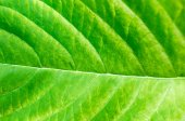 Texture background of backlight fresh green Leaf — Stock Photo