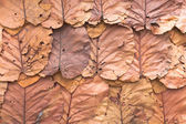 Lined dry leaves wall color background texture — Stock Photo