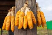 Grains of ripe corn on wooden poles — Stock Photo