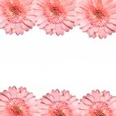 Blooming beautiful pink flower isolated on white background — Stock Photo