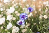 Blur white flower and close up little blue flower background — Stock Photo