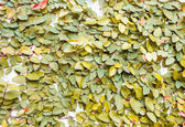 Yellow leaves on wall texture background — Stock Photo