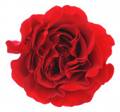 Red rose. Isolated on white background. — Stock Photo