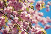 Třešňový květ v dubnu — Stock fotografie