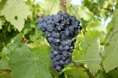 Grape from — Stock Photo