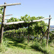 Постер, плакат: Vineyard in Girlan at the South Tyrol