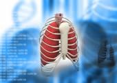 3d render of human rib — Stock Photo